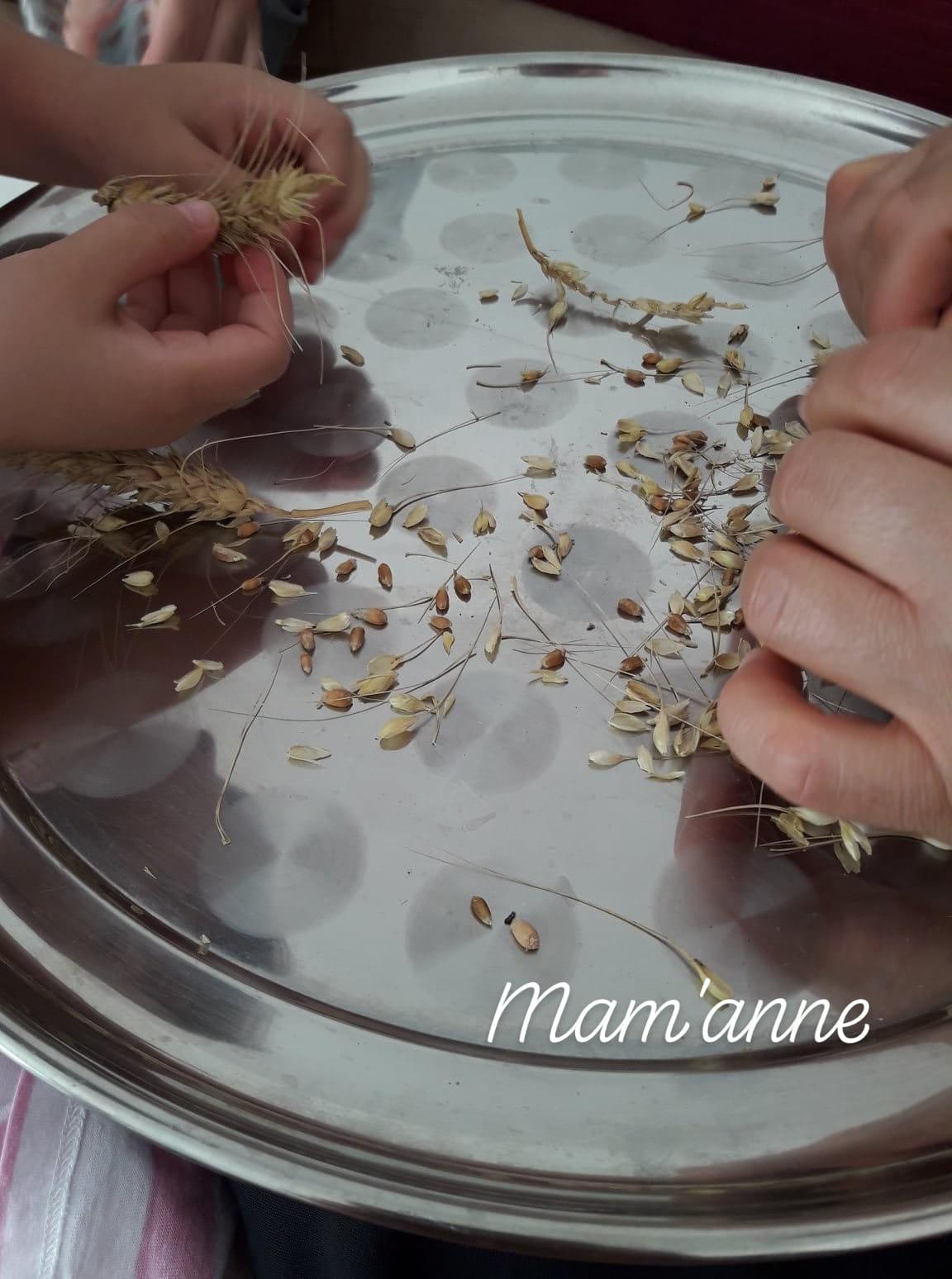 activité enfant cueillir blé décortiquer